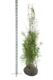Fargesia jiuzhaigou Zolla 175-200 cm