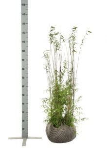 Fargesia jiuzhaigou Zolla 80-100 cm