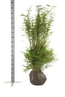 Fargesia nitida Zolla 125-150 cm