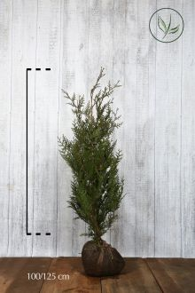 Tuia 'Atrovirens' Zolla 100-125 cm