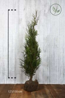 Tuia 'Atrovirens' Zolla 125-150 cm