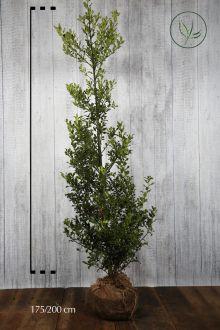 Agrifoglio 'Alaska' Zolla 175-200 cm
