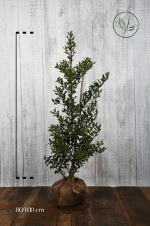 Agrifoglio 'Alaska' Zolla 80-100 cm