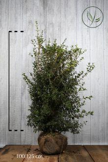 Osmanto di Burkwood Zolla 100-125 cm