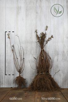 Ligustro comune Radice nuda 60-80 cm