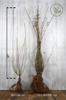 Ligustro comune Radice nuda 80-100 cm