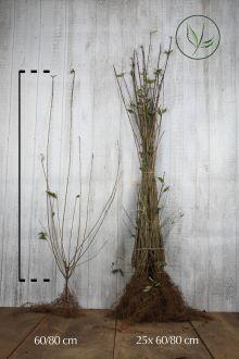 Ligustro comune 'Atrovirens' Radice nuda 60-80 cm
