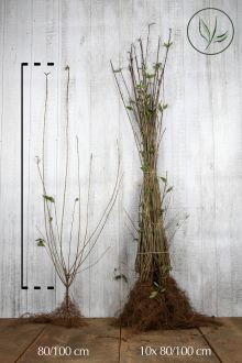 Ligustro comune 'Atrovirens' Radice nuda 80-100 cm