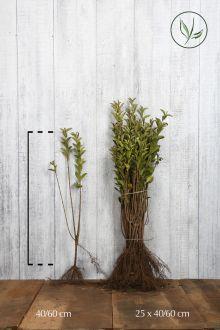 Ligustro a foglie ovali dorate Radice nuda 40-60 cm