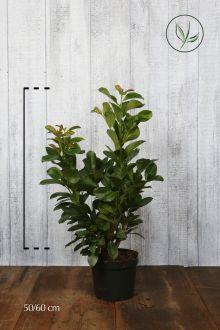 Lauroceraso 'Etna' Contenitore 50-60 cm
