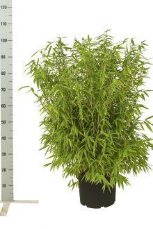 Fargesia murieliae 'Jumbo' Contenitore 60-80 cm