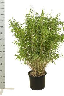 Fargesia murieliae 'Jumbo' Contenitore 80-100 cm
