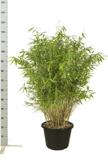 Fargesia murieliae 'Jumbo' Contenitore 100-125 cm