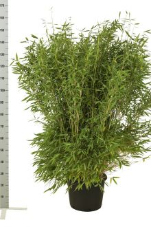 Fargesia murieliae 'Jumbo' Contenitore 125-150 cm