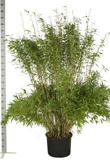 Fargesia murieliae 'Jumbo' Contenitore 175-200 cm
