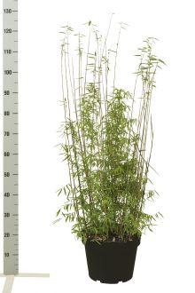 Fargesia jiuzhaigou Contenitore 80-100 cm