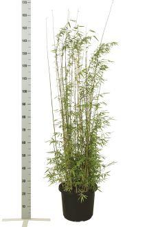 Fargesia jiuzhaigou Contenitore 100-125 cm