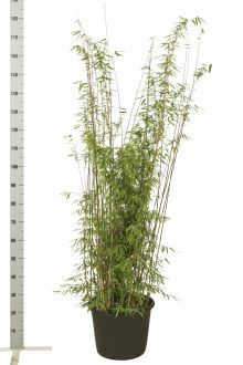 Fargesia jiuzhaigou Contenitore 125-150 cm