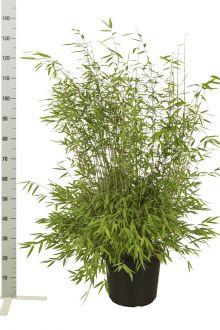 Fargesia nitida Contenitore 80-100 cm