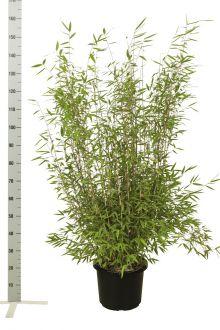 Fargesia nitida Contenitore 100-125 cm