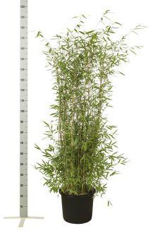 Fargesia nitida Contenitore 125-150 cm