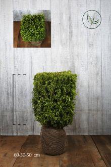 Bosso - Cubi Siepe pronta 60h x 50 x 50 cm Siepe-pronta