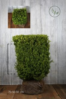 Bosso - Cubi Siepe pronta 70h x 50 x 50 cm Siepe-pronta