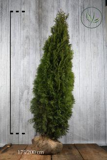 Tuia 'Smaragd' Zolla 175-200 cm Qualità extra