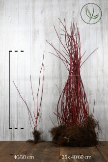 Corniolo alba 'Sibirica' Radice nuda 40-60 cm