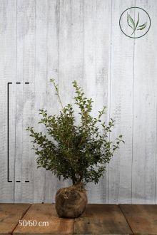Osmanto di Burkwood Zolla 50-60 cm