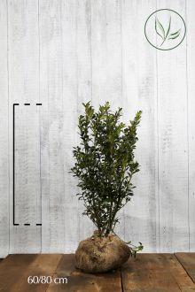 Agrifoglio 'Heckenpracht' Zolla 60-80 cm