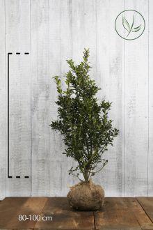 Agrifoglio 'Heckenpracht' Zolla 80-100 cm