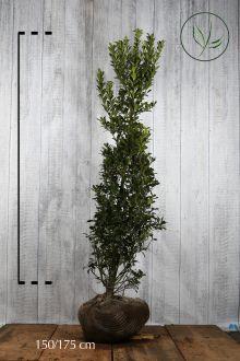 Agrifoglio 'Heckenpracht' Zolla 150-175 cm