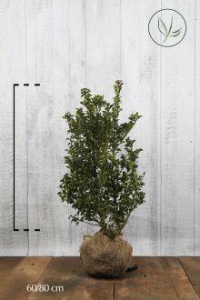 Agrifoglio 'Heckenstar' Zolla 60-80 cm