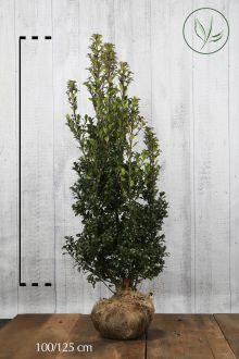 Agrifoglio 'Heckenstar' Zolla 100-125 cm