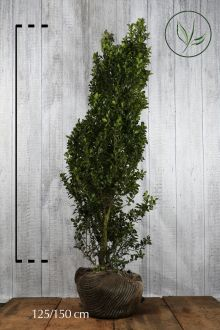 Agrifoglio 'Heckenstar' Zolla 125-150 cm