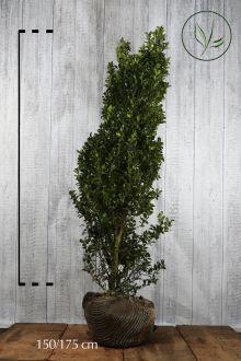 Agrifoglio 'Heckenstar' Zolla 150-175 cm