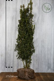 Agrifoglio 'Heckenstar' Zolla 175-200 cm