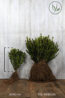 Bosso - Arbusti Radice nuda 30-40 cm Qualità extra