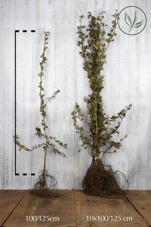 Biancospino Radice nuda 100-125 cm