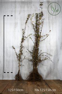 Biancospino Radice nuda 125-150 cm