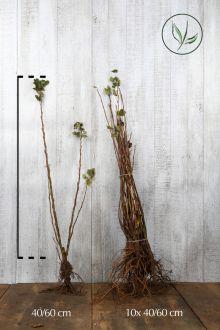 Ribes sanguigno 'Americano' Radice nuda 40-60 cm