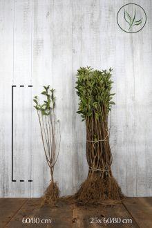 Ligustro a foglie ovali dorate Radice nuda 60-80 cm