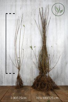 Ligustro comune Radice nuda 100-125 cm
