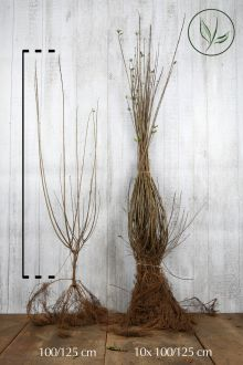 Ligustro comune 'Atrovirens' Radice nuda 100-125 cm