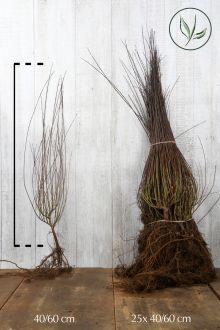 Salice purpurea 'Nana' Radice nuda 40-60 cm