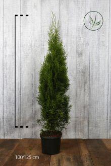 Tuia 'Smaragd' Contenitore 100-125 cm Qualità extra