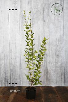 Ligustro a foglie ovali dorate Contenitore 60-80 cm Qualità extra