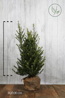 Agrifoglio giapponese 'Dark Green' ®  Zolla 80-100 cm