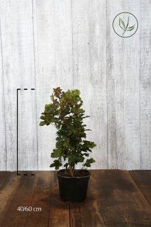 Acero campestre Contenitore 40-60 cm